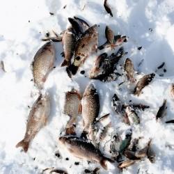 Якутская рыбка