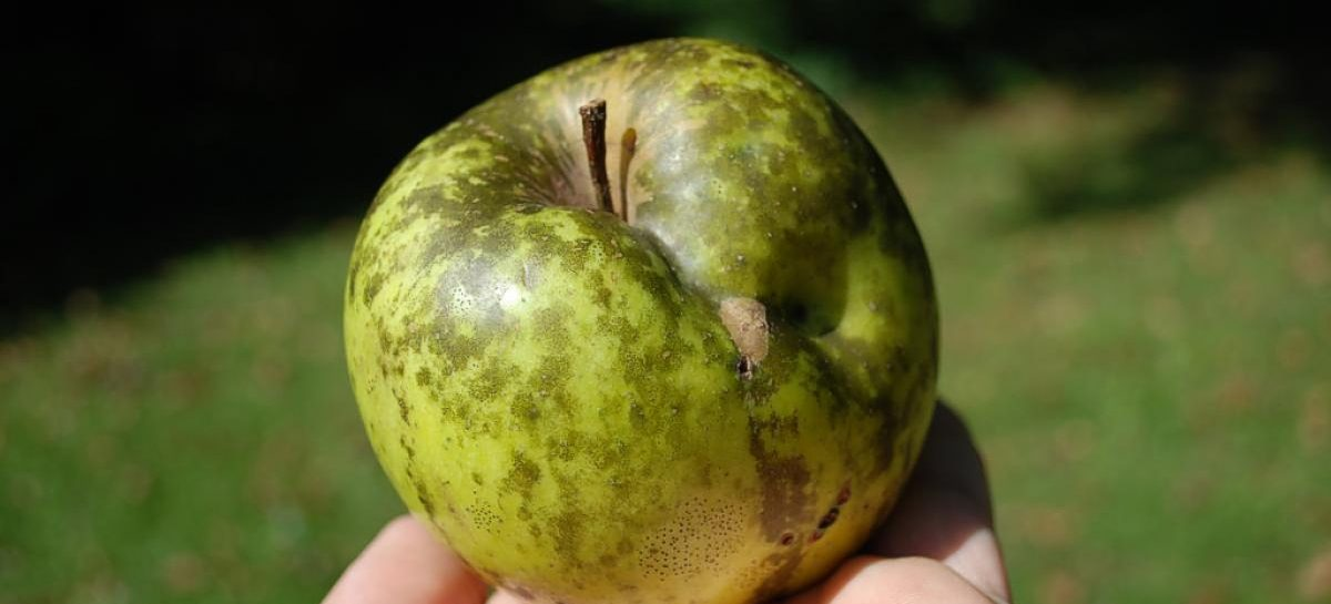 Наливные яблочки на Садовом