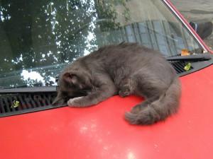 Кошка спит на капоте красной машины