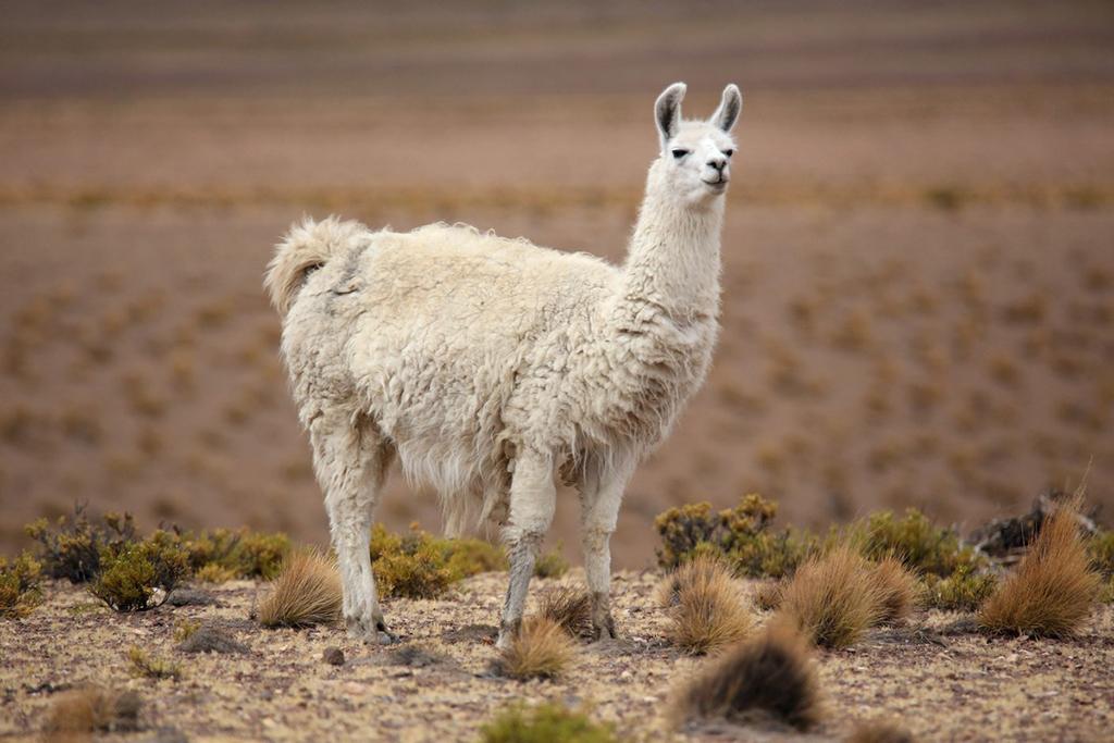 Лама одомашненная - альпака