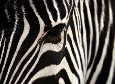 Светомаскировка…. зеброй