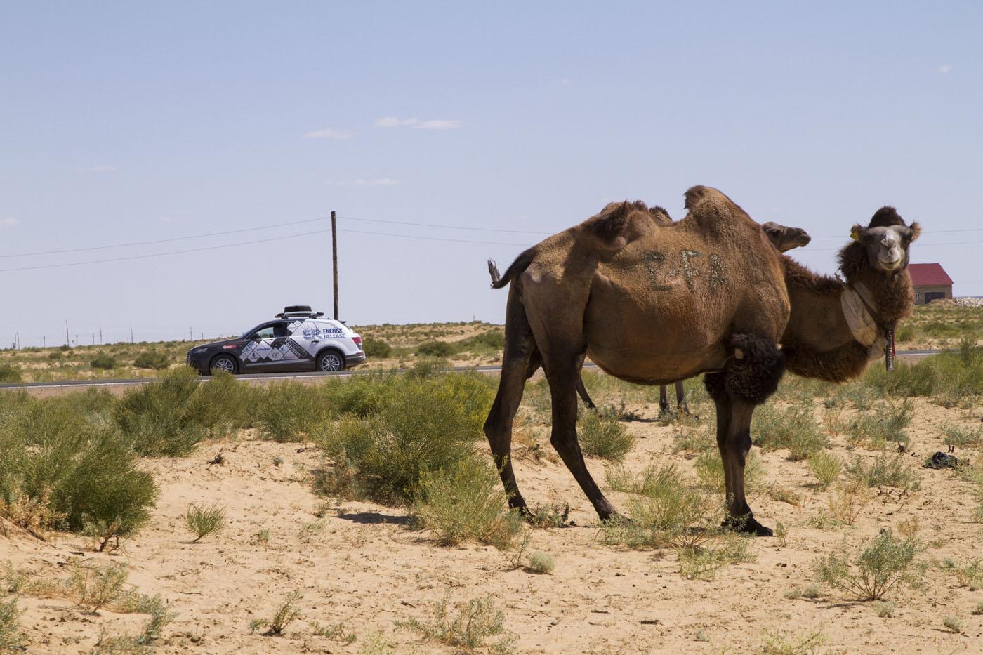 Западно-казахстанские верблюды