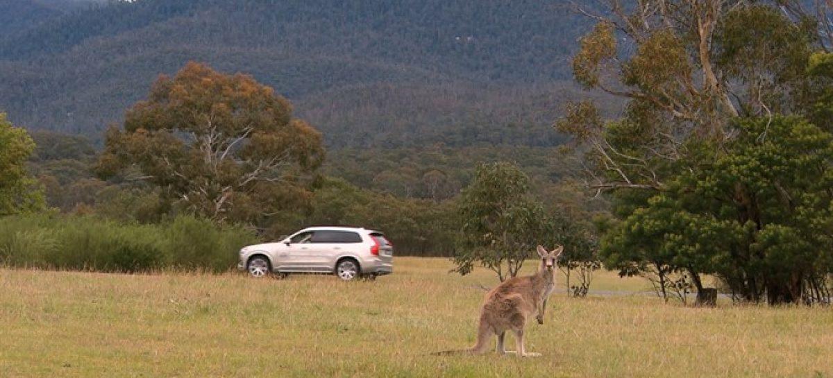 Volvo изучает кенгуру