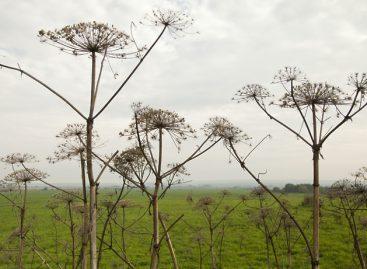 Около 1 тыс гектаров территории обработали от борщевика в Подмосковье