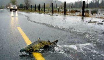 В США из-за миграции лосося образовался затор на дороге