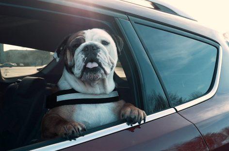 Каждый третий водитель не соблюдает меры безопасности при перевозке собак