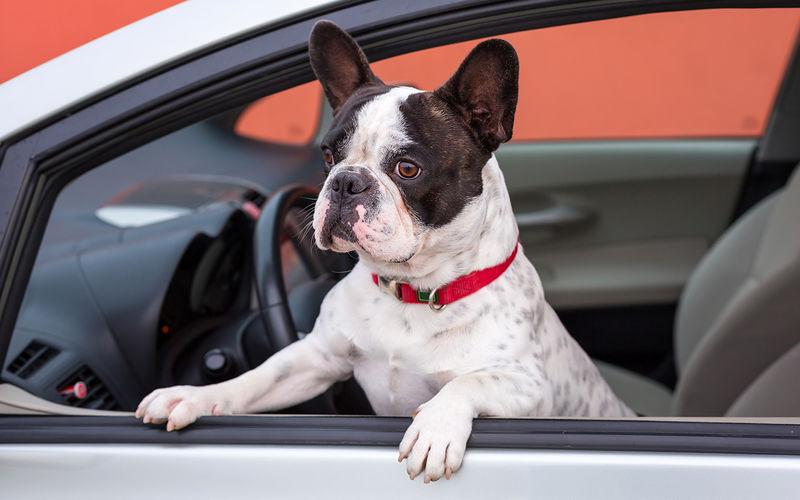 Собака на переднем сиденье