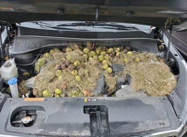 Готовясь к зиме, белки устроили себе домик под капотом автомобиля