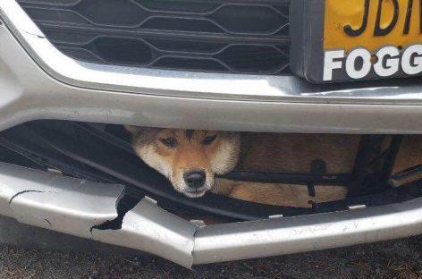 Сбитая собака застряла в переднем бампере автомобиля и проехала так около 25 километров