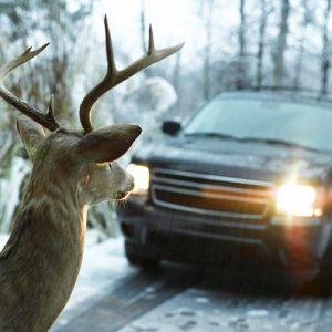 На Ямале водитель встал в пробку из-за оленей на дороге