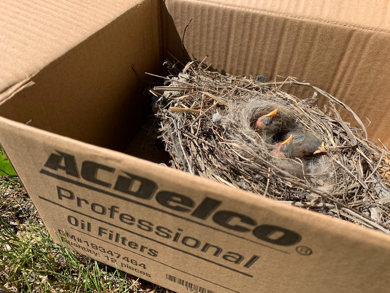 гнездо с птенцам